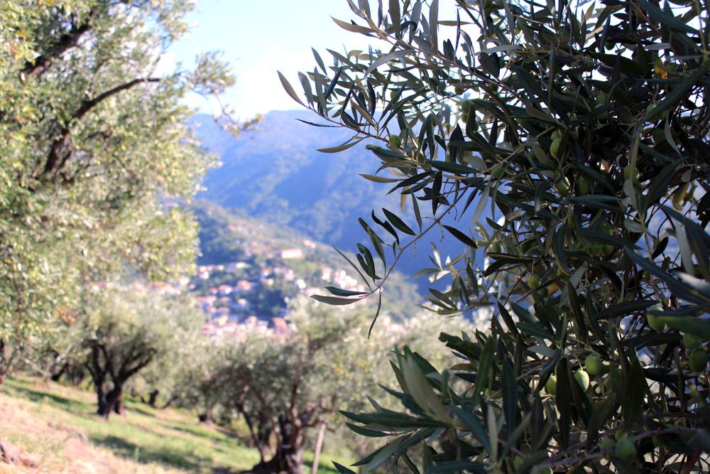 Calabria extra virgin oil